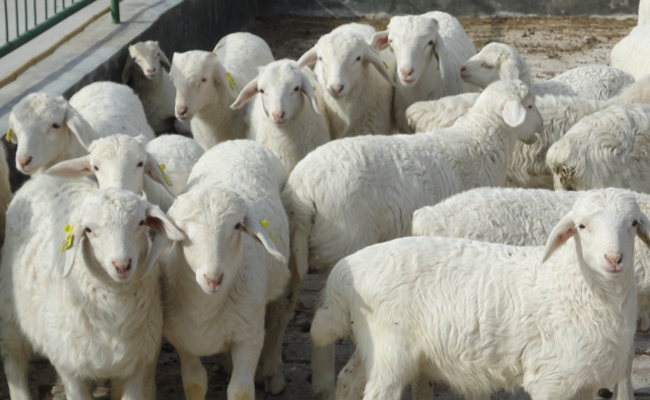 关中奶山羊多少钱一只?如何养殖?