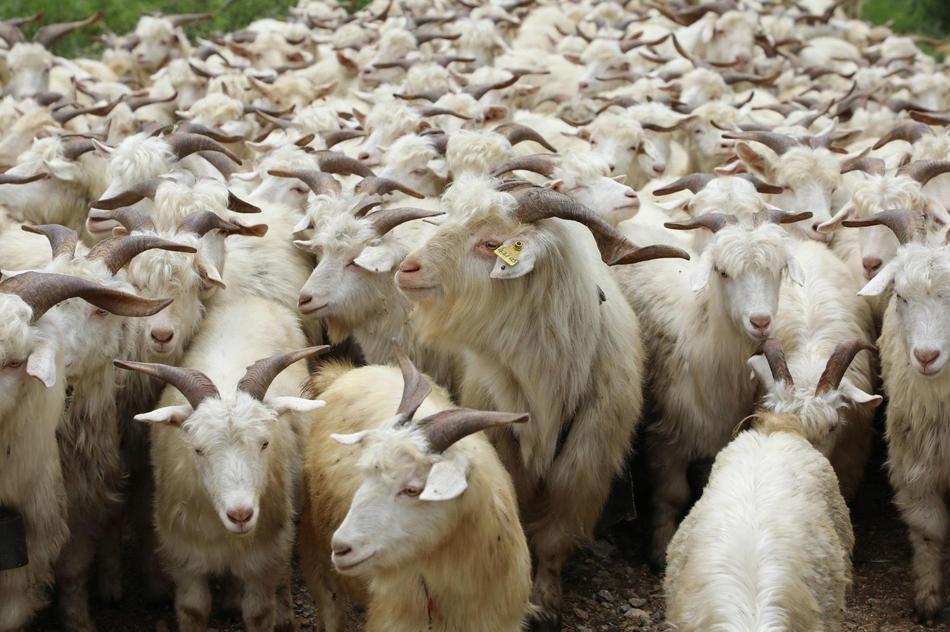 马头山羊都有哪些养殖技巧?
