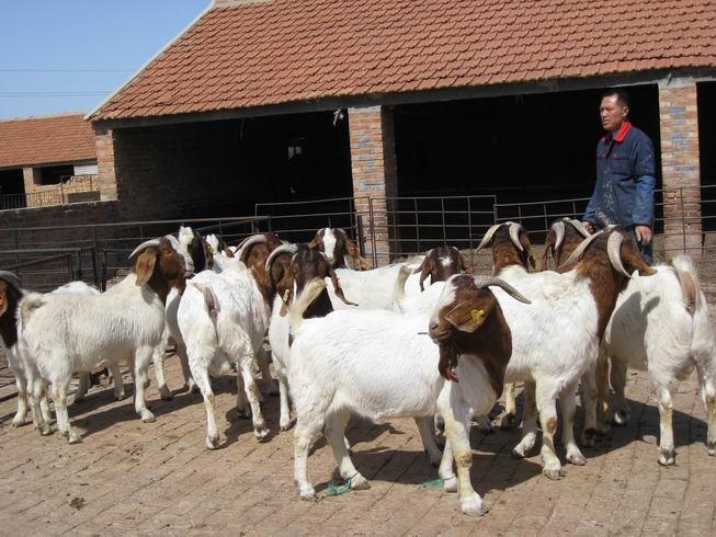 羊伪结核有怎么治疗?