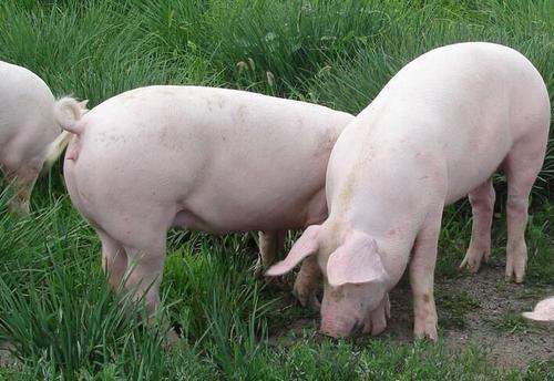 10月21日全国猪价参考,猪价大面积下跌