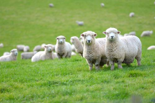 冬季养羊提高效益要注意这五点