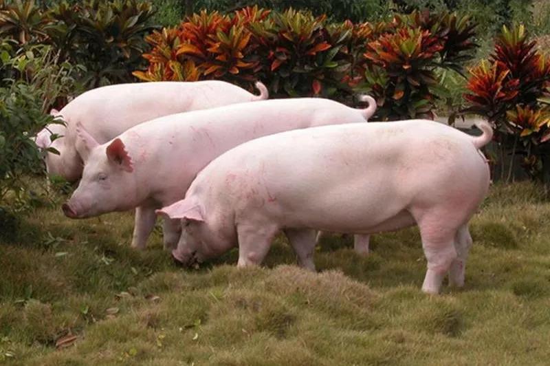 春季猪腹泻的预防措施