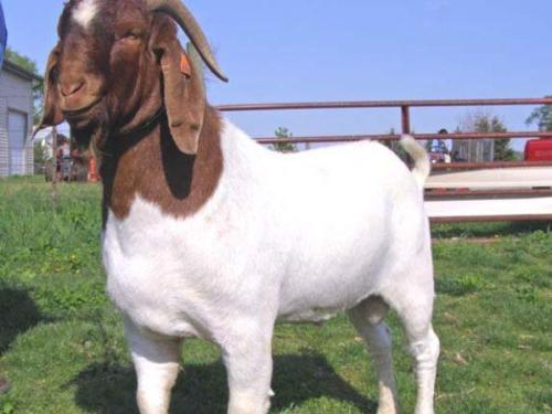 养羊多胎有秘诀,这样做提高肉羊的繁殖力