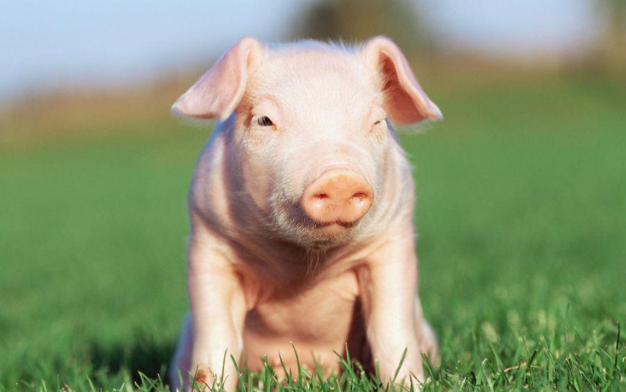 4月10日全国最新猪价,多地猪价破10元