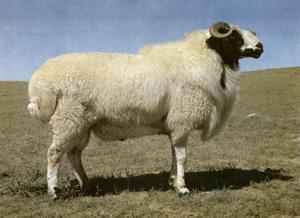 蒙古羊品种介绍