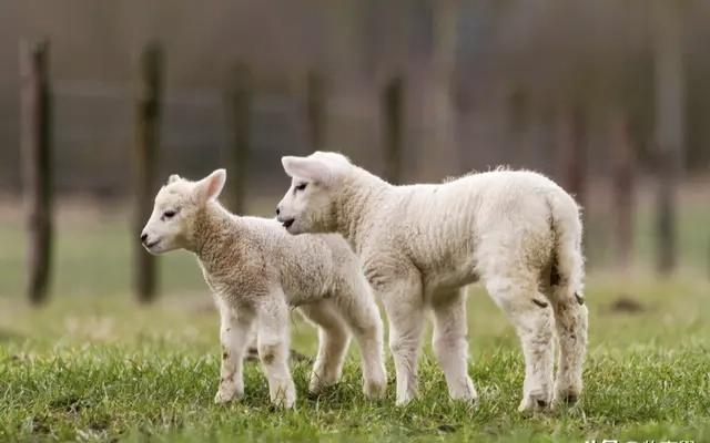 5月11日全国最新活羊价格
