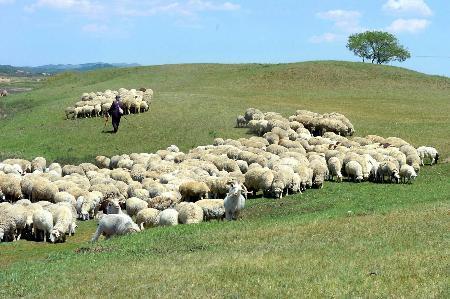 如何让羊在夏季增膘?