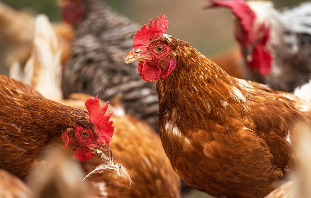 5月13日淘汰鸡价格
