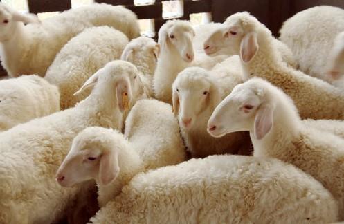 5月13日全国最新活羊价格