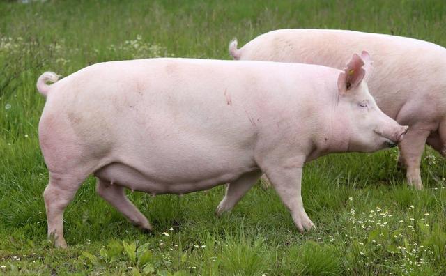 6月10日猪价大变,刚反弹2天又下跌!