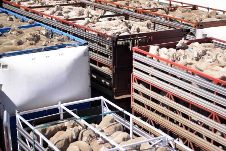 降低外地购羊死亡率的三个方法