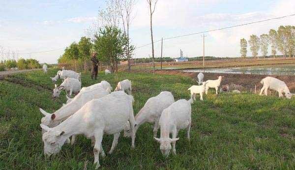 夏季成年肉羊快速育肥技术