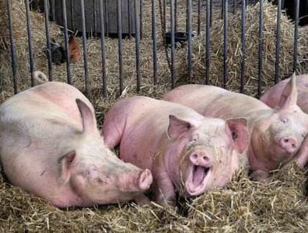 猪口炎的综合防治