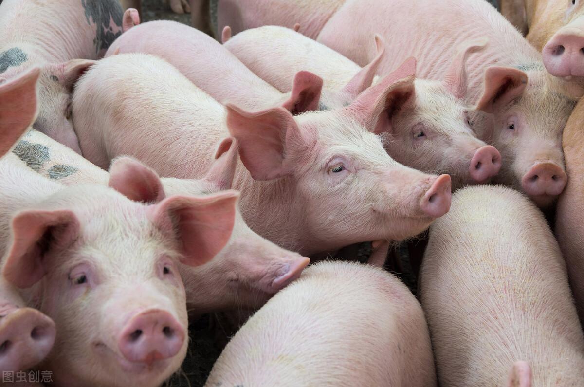 6月11日全国猪价,再次大面积下跌!
