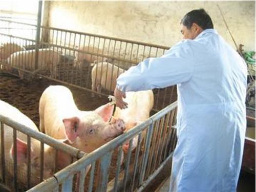 猪常用疫苗正确接种方法