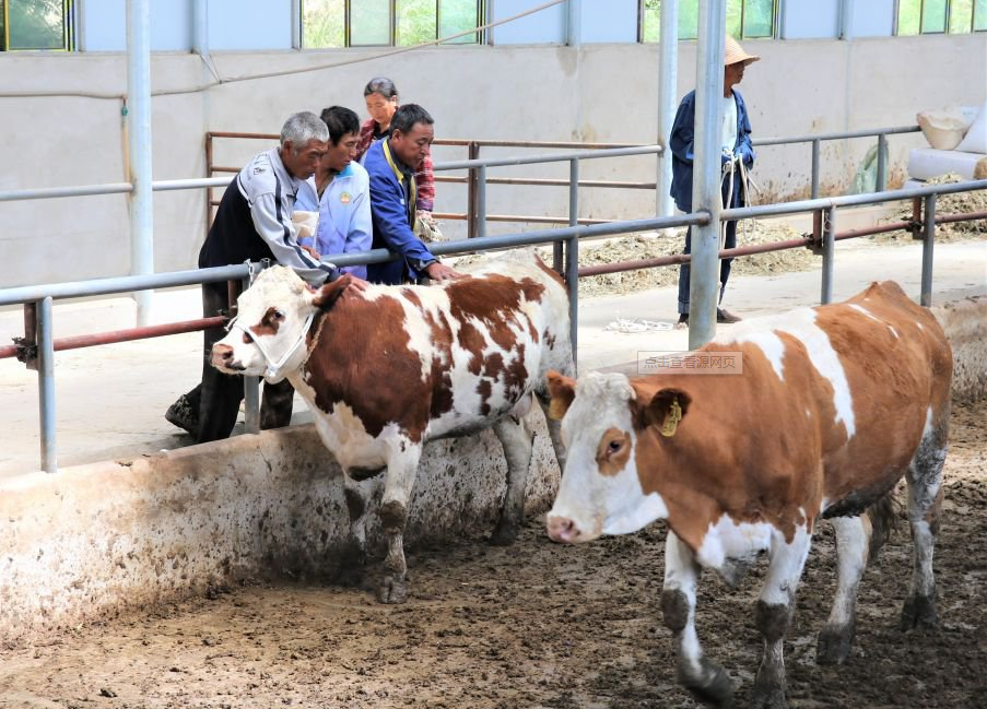 牛总是把舌头伸出口腔外而且不停的摆动是什