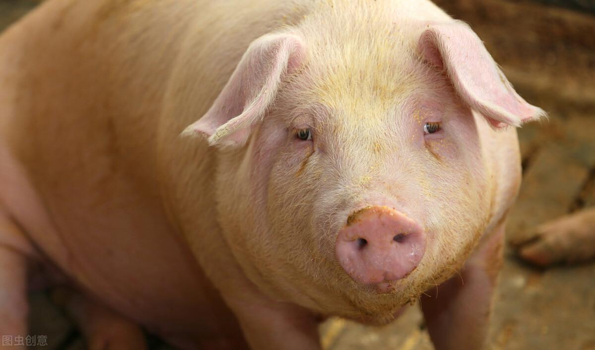 如果母猪有这几种表现,证明母猪要发病了