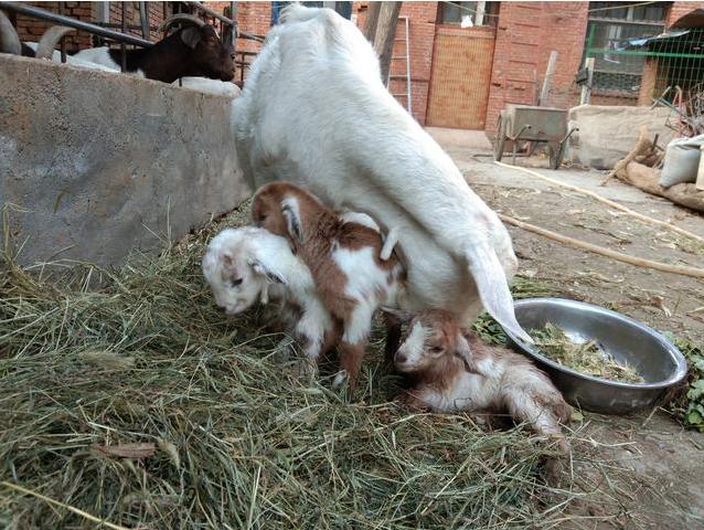 秋配的好季节,母羊总是不发情让人头疼,母羊不发情的原因是什么?