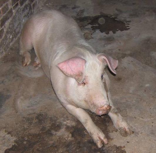 猪死亡后鼻子和嘴巴流血是什么病?秋冬季节多发,如何综合防控?