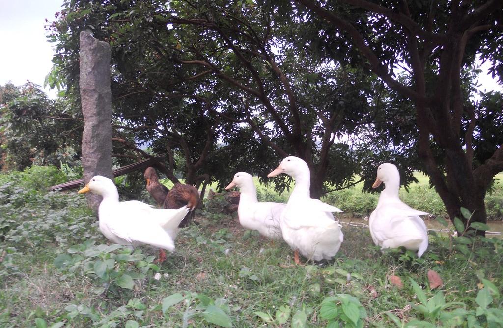 肉鸭养殖如何节约饲料?养鸭做到这几点,能降低很多成本