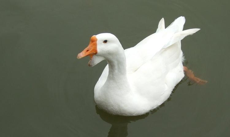 9月24日最新白羽鹅、、马岗鹅、鹅蛋报价