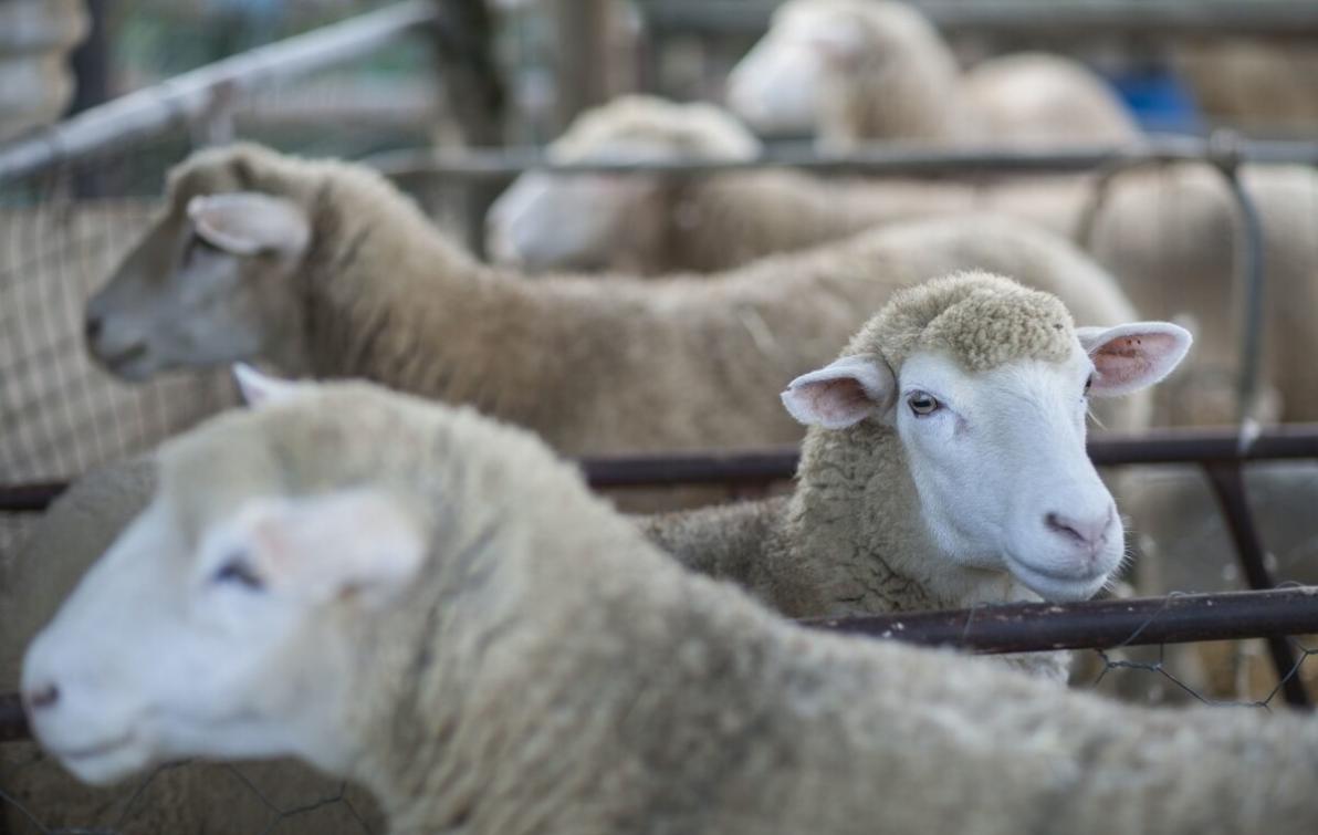 羊片形吸虫病的危害有哪些?羊片形吸虫病如何预防?
