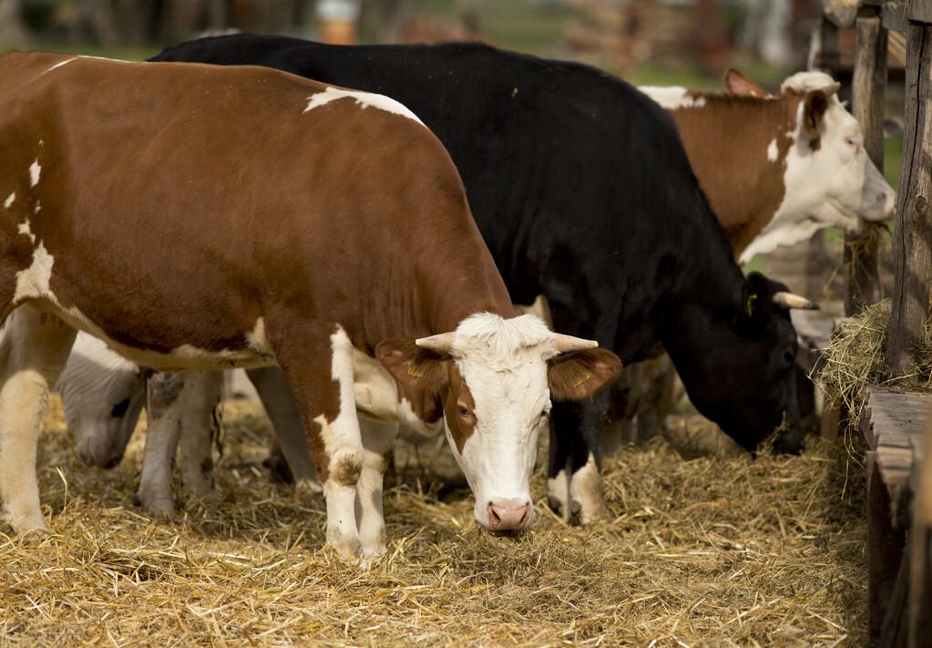 养牛想赚钱,必须先种草,3种常见牧草,最高亩产20吨以上