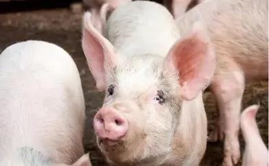10月23日全国猪价 涨!涨!涨!